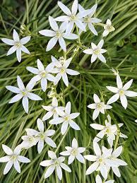 of bethlehem flower healing herbs of bethlehem