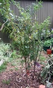 plum mariposa tree prunus salicina
