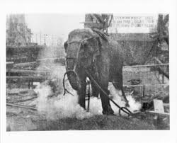 Thomas Edison Electric Chair Topsy The Elephant Slain By Thomas Edison Ny Daily News