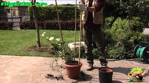 Potted Plants For Patio Growing Potted Climbing Plants Youtube