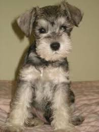 schnauzers hair cuts image result for schnauzer haircuts adorable dogs pinterest dog