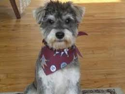 schnauzer hair cut step by step image result for schnauzer haircut images novi ideas schnauzer