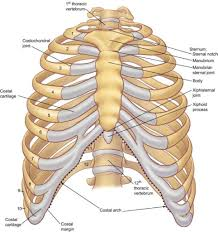 anatomy of the rib cage diagram anatomy note