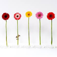 Gerbera Daisies Gerber Daisies Frog And Gerber Daisy Gerber Flowers And