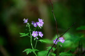 blue forest flowers flowers free nature pictures by