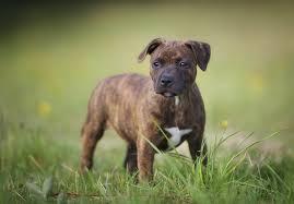 belgian shepherd x staffy staffordshire bull terrier puppies for sale akc puppyfinder
