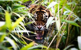 tiger roar wide hd wallpaper photos full free download