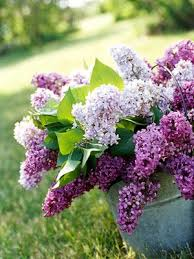 lilac flowers lilacs are may in essence wandering with val