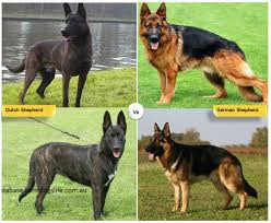 american pitbull terrier vs german shepherd 11 dog breeds like the german shepherd pethelpful