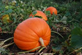 Chesterfield Pumpkin Patch 2015 by Go Pumpkin Picking In Morris County Nj New Jersey Real Estate