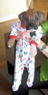Boxer Puppy Halloween Costumes Country Cutie Costume Dog Animal House
