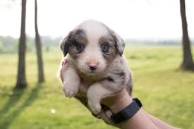 australian shepherd price miniature australian shepherd puppies in hoobly classifieds