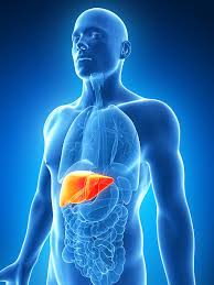 Liver Human Anatomy Human Liver Pictures Images And Stock Photos Istock