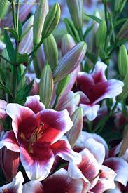 410 best lilies images on pinterest flowers flowers garden and lily