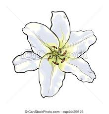 white lilly single white flower top view vector vector