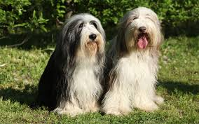 bearded collie mini bearded collie puppies breed information u0026 puppies for sale
