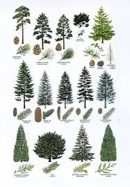 ornamental evergreen trees for small gardens beautiful deciduous