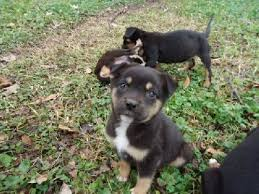australian shepherd puppies for sale 34655 pitweiler american pit bull terrier and rottweiler mix