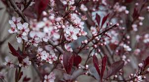 what gardening enthusiasts must about purple leaf plum trees