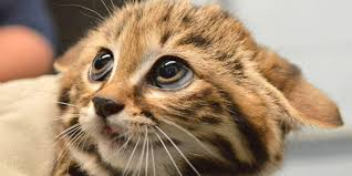 philadelphia zoo welcomes black footed cat kittens and we are