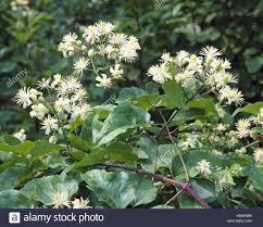 common forest vine clematis vitalba nature botany flora plants
