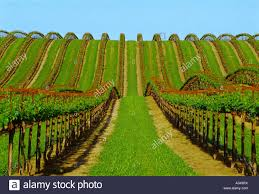 grape vine trellis stock photos u0026 grape vine trellis stock images