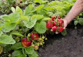 popular strawberry varieties different types of strawberries