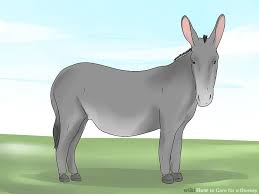 3 ways to care for a donkey wikihow