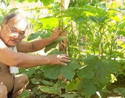 Okra Plant Diseases - health benefits of okra