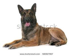 belgian sheepdog guard dog german shepherd dog guard dog sitting stock photo 92336758