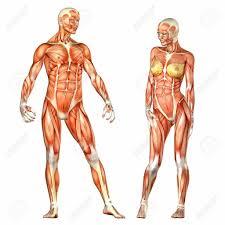 Female Anatomy Organs Abdominal Muscle Anatomy Female Female Human Body Organs Diagram