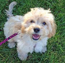 bichon frise dog pictures chi chon bichon frise chihuahua mix info care puppies pictures