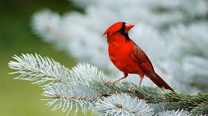 beautiful birds wallpapers red cardinal bird on white christmas