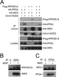 Flag Complex The Nod2 Rip2 Complex Interacts With The Ppp2r1a Pp2a Phosphatase