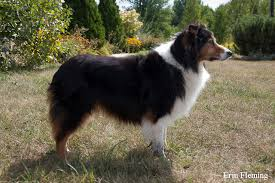 7 month old australian shepherd weight stacked dogs chaz hound dog forums