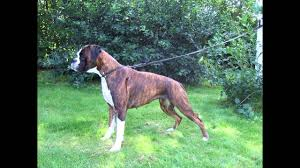 boxer dog health questions average lifespan of a boxer dog youtube