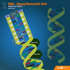 deoxyribonucleic acid dna fact sheet national human genome