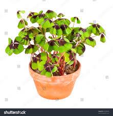 pot four leaf clover plant st stock photo 92269456 shutterstock