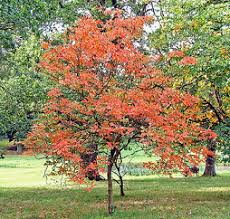 midwest gardening trees index