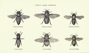 biological drawings insects honey bee apis mellifera biology