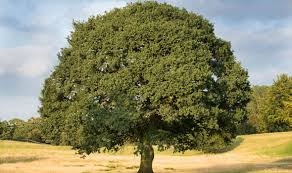 top 10 facts about oak trees top 10 facts style express