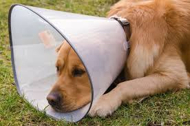 spots in dogs symptoms causes diagnosis treatment recovery