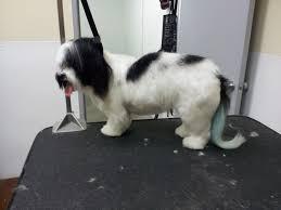 Dog Grooming Styles Haircuts The Writing Groomer Havanese