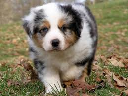 is an australian shepherd smart 48 best australian sheperds images on pinterest aussies animals