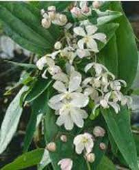 Fragrant Climbing Plants - scented aromatic fragrant climbers from scentedshrubs com
