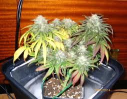 chambre de culture cannabis fait maison cultiver du cannabis en espaces réduits du growshop alchimia