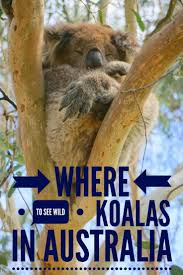 adventures of the little koala 675 best wildlife images on pinterest travel tips travel advice