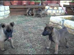belgian malinois weight at 8 months belgian malinois puppies 7 weeks old mov youtube