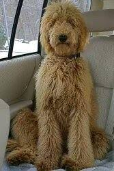 standard poodle hair styles how often does a standard poodle need to be groomed how much does