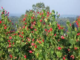 austin native plants malvaviscus arboreus turk u0027s cap wax mallow